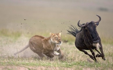Lion and the Wildebeest
